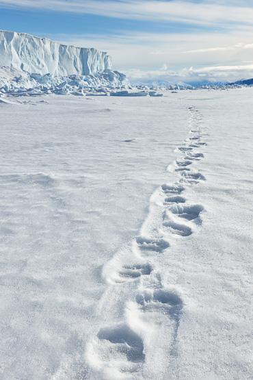 Polar Bear tracks in Arctic Canada Nunavut
